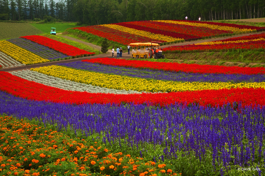 Furano / Biei Japan  city photo : Breathtaking Summer Blooms at Biei and Furano in Hokkaido. – Davie's ...